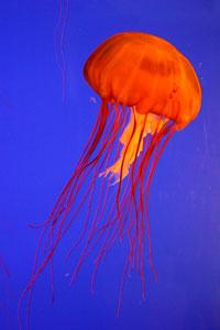Recomiendan comer medusa