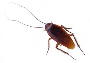 plaga de ensectos en los hogares: la cucaracha